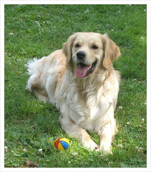 Golden retriever - Fundi